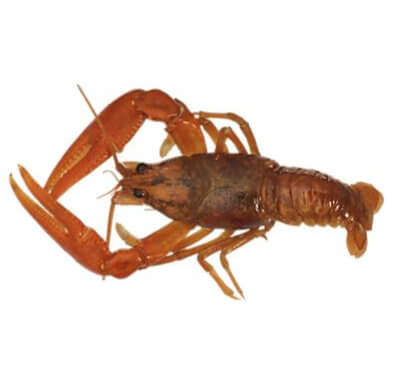 Rigged Crawdad - Natural